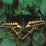 """""""Black Swallowtail Butterfly"""""""