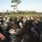 """Turkeys At Crazy Hart Ranch"""