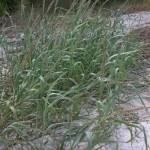 """Panic Grass"""