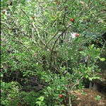 &quot;Barbados Cherry November 08&quot;