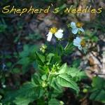 """Bidens Alba, Shepherd's Needles"""