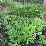 &quot;Lettuce, Chard, Beets November 08&quot;