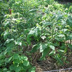 """Heirloom Tomato Plants"""