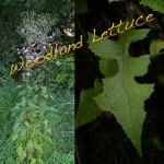 """Lactuca Floridana, Woodland Lettuce"""