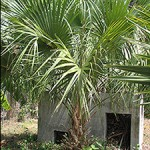 """Healthy Sabal Palm Growing Up"""