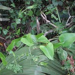 Smilax or Greenbrier