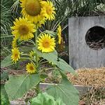 Sunflower Male