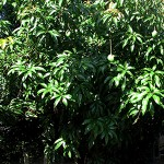 Fruiting Mango Tree