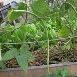 Yard Long Bean On Sisal String