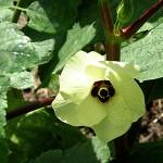 Okra Flowering July 2009