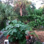 Back Garden, Okra, Herbs, Avocado, Passion