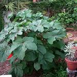 Huge Okra Plants