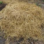 Composting Manure Pile