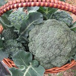 Winter Broccoli Harvest