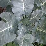 New Broccoli Floret