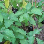 Eggplant With Fruit