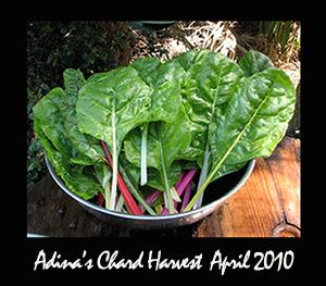 Chard Harvest