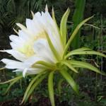 Dragon Fruit Cactus Flower