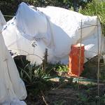 Pigeon Pea Tent