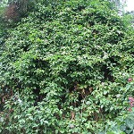 Passion Vine in Trees