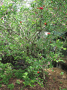 Barbados Cherry