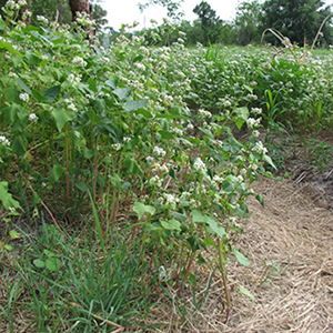 Buckwheat in May
