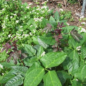 Peas, Buckwheat, Hibiscus