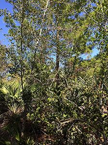 Halpatiokee Buffer Preserve: Sand Pine