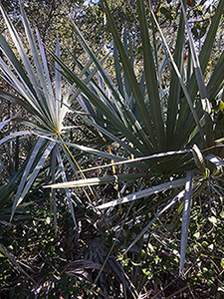 Halpatiokee Buffer Preserve: Saw Palmetto