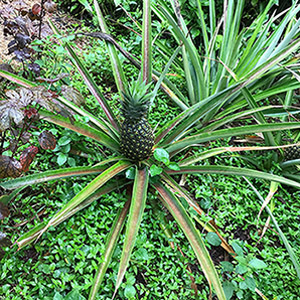 Many native ground cover plants like Day Flower or Commelina do not disturb the growth of Pineapple plants.